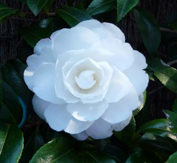 Early_Pearly_Camellia