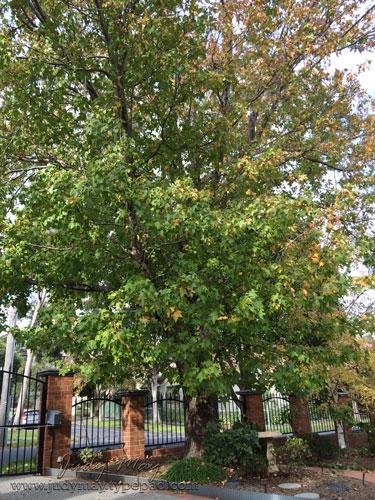 Liquidamber_Tree